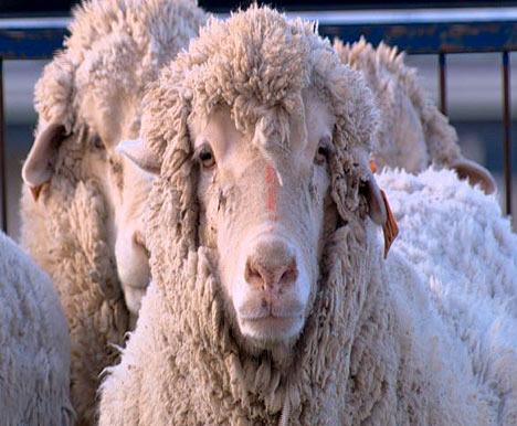 Sheep Human Chimera Photo Chimera: sheep have 15 per cent human cells and 85 per cent animal cells