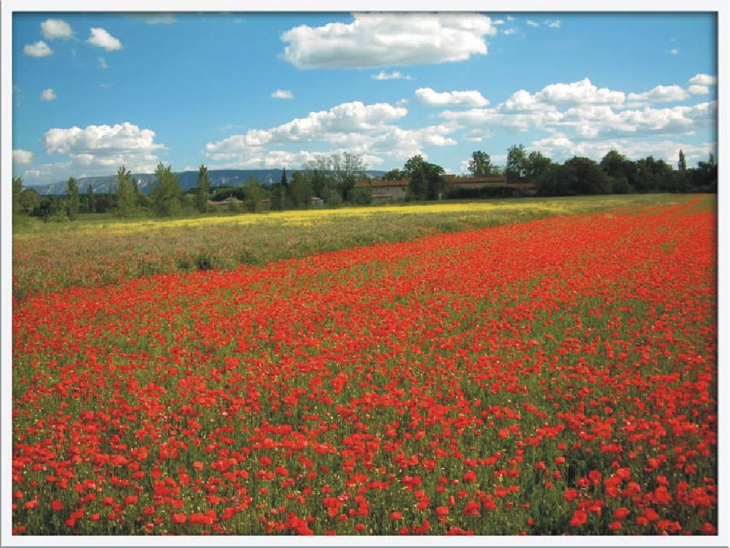 poppies-in-flanders