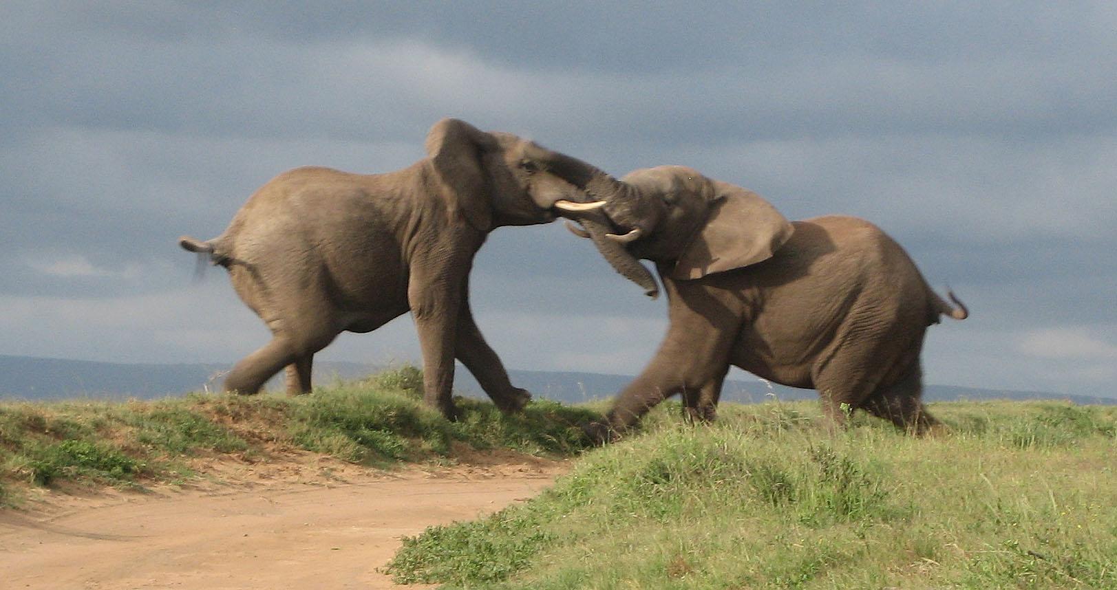 Elephants Fighting