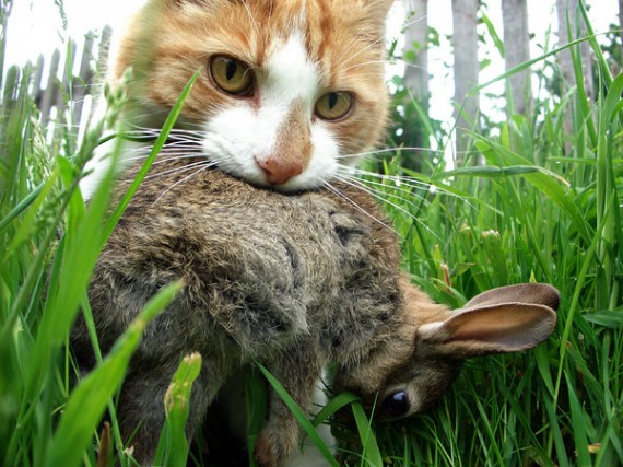 cat-with-rabbit-in-mouth