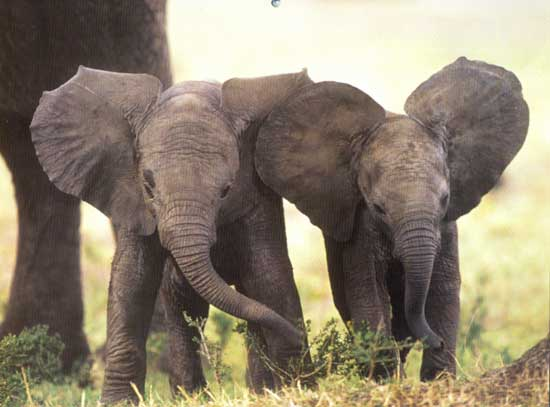 two-elephants