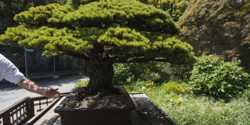 The Bonsai Tree That Survived A Nuclear Blast